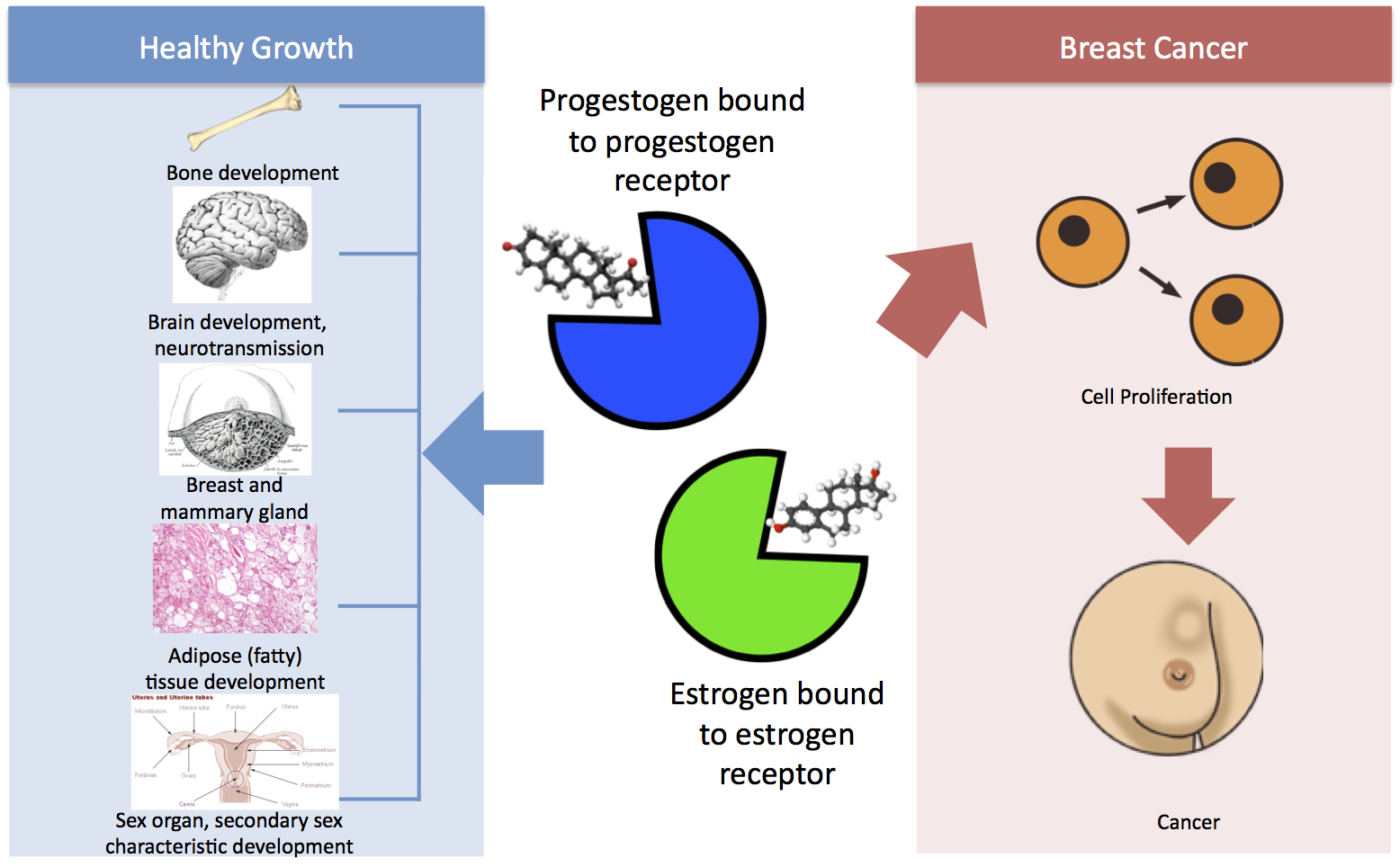 Estrogen and progesterone breast cancer